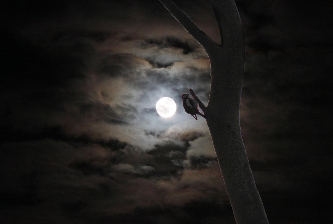 Bonte Supermaan - Foto van de supermaan van 1 febr 2018 gecombineerd met een zeer matige foto (met tegenlicht) van de bonte specht. Deze twee matige foto's samen maken - foto door LdG op 02-02-2018 - deze foto bevat: bonte specht, volle maan, supermaan