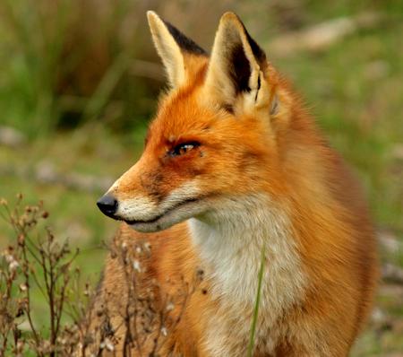 Vos - Vandaag waren we niet op zoek naar de vossen en opeens stond er daar eentje. Hij liep een heel stuk met ons mee, dus ja dan moet je hem ook wel op de - foto door renatebobo op 08-10-2015 - deze foto bevat: natuur, vos, awd