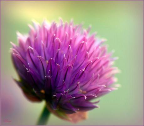 Bieslook bloemetje