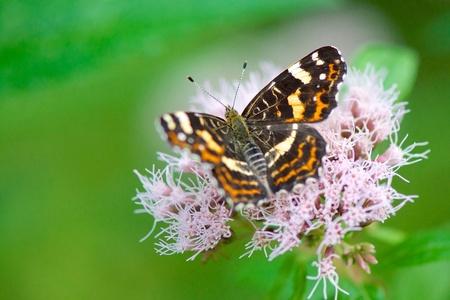 Pretty on pink - Een mooi vlindertje op de Oostvaardersplassen :) - foto door oOjoanOo op 31-10-2014