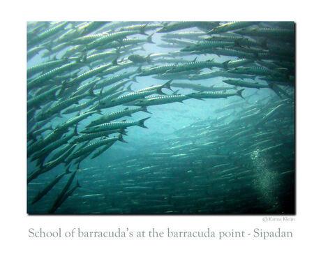 Barracuda's