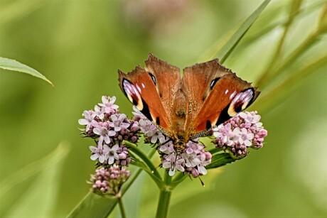HDR vlinder