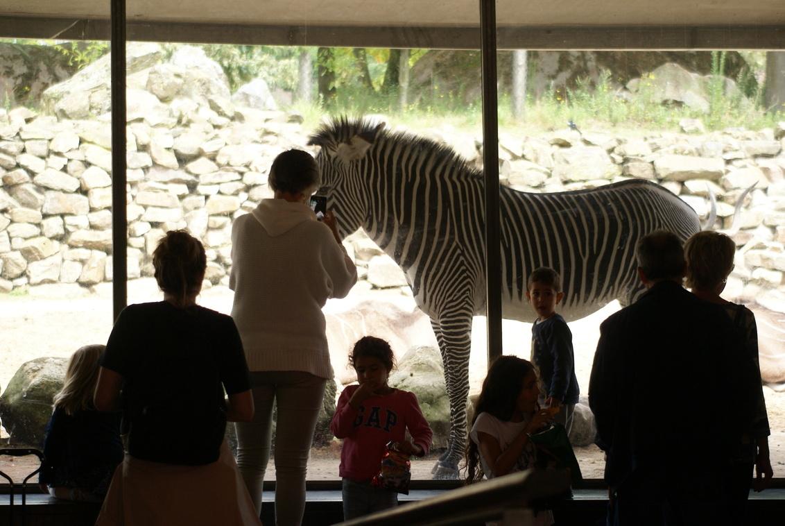 Het doet hem niks meer... - - - foto door MarijeScheening op 16-08-2017 - deze foto bevat: mensen, amsterdam, zebra, dierentuin, vakantie, reflectie, tegenlicht, stad, zwartwit, straatfotografie