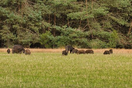 Wilde varkens - Een rotte wilde varkens met frislingen op de Noord Veluwe - foto door Waltherwb op 04-04-2021 - deze foto bevat: veluwe, dieren, wild zwijn, wild varken