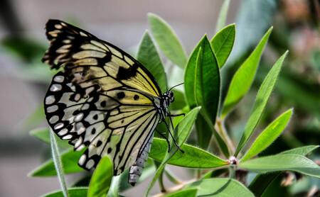 vlinder 6 - uit de vlindertuin Gemert waar de klant nog overspoeld wordt met info als men dat wil. Geert de beheerder is alle dagen aanwezig in de tuin om info  - foto door eugene-fotografie op 07-01-2018 - deze foto bevat: vlinder