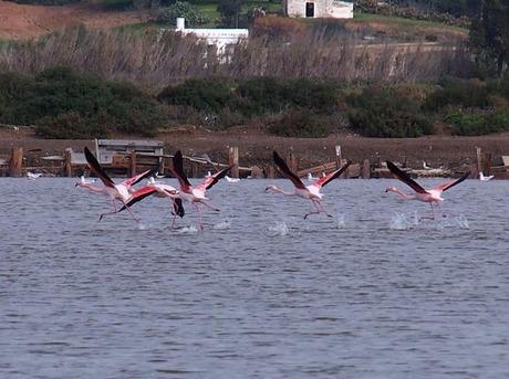 flamingo salinas Isla cr 16-12-14.jpg