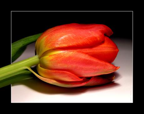 Tulpje........