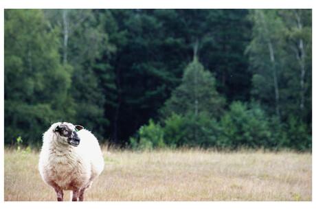 Starend schaap