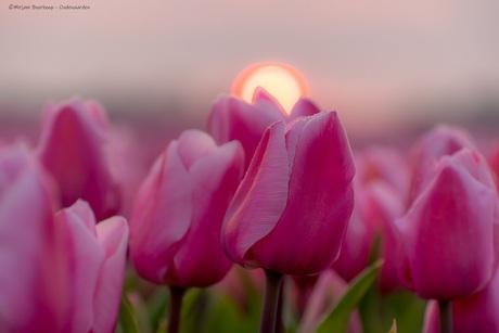 Roze tulpen bij zonsopkomst