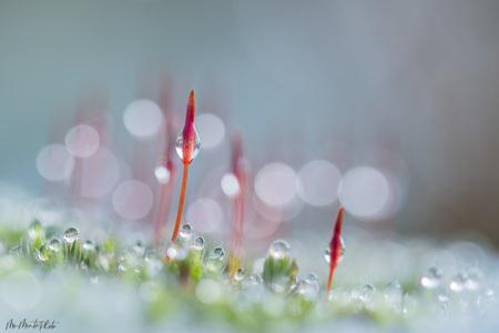 Ruighaarmos bedekt onder dauwdruppels - Het rode ruighaarmos bedekt onder dauwdruppels geeft prachtige bokeh - foto door MonicadeJong op 05-03-2021 - deze foto bevat: rood, macro, natuur, druppel, dauw, dof, bokeh