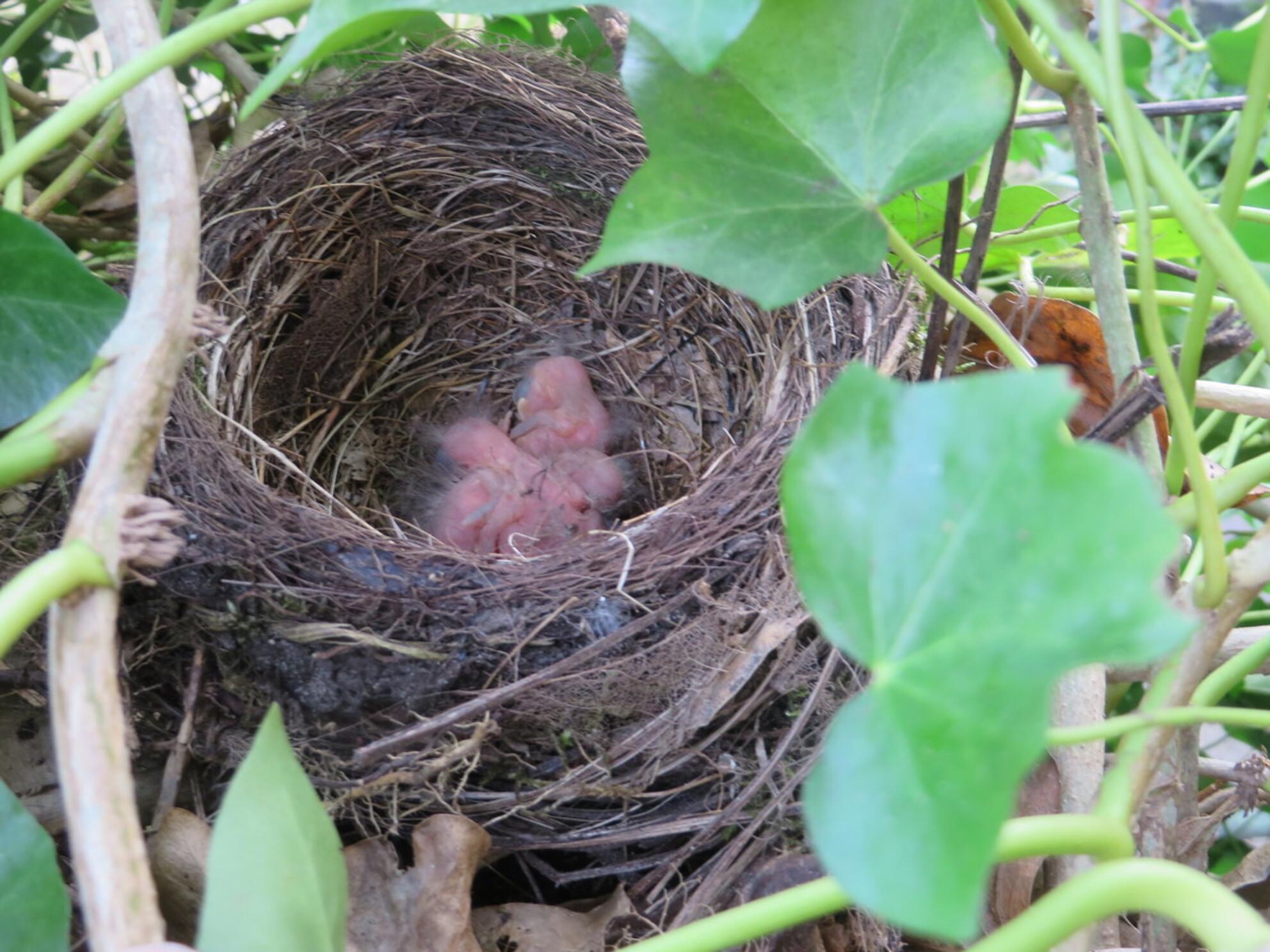 IMG_1997 - - - foto door misspiggy83 op 24-03-2015 - deze foto bevat: merel, vogel, voorjaar, nestje, jonge dieren