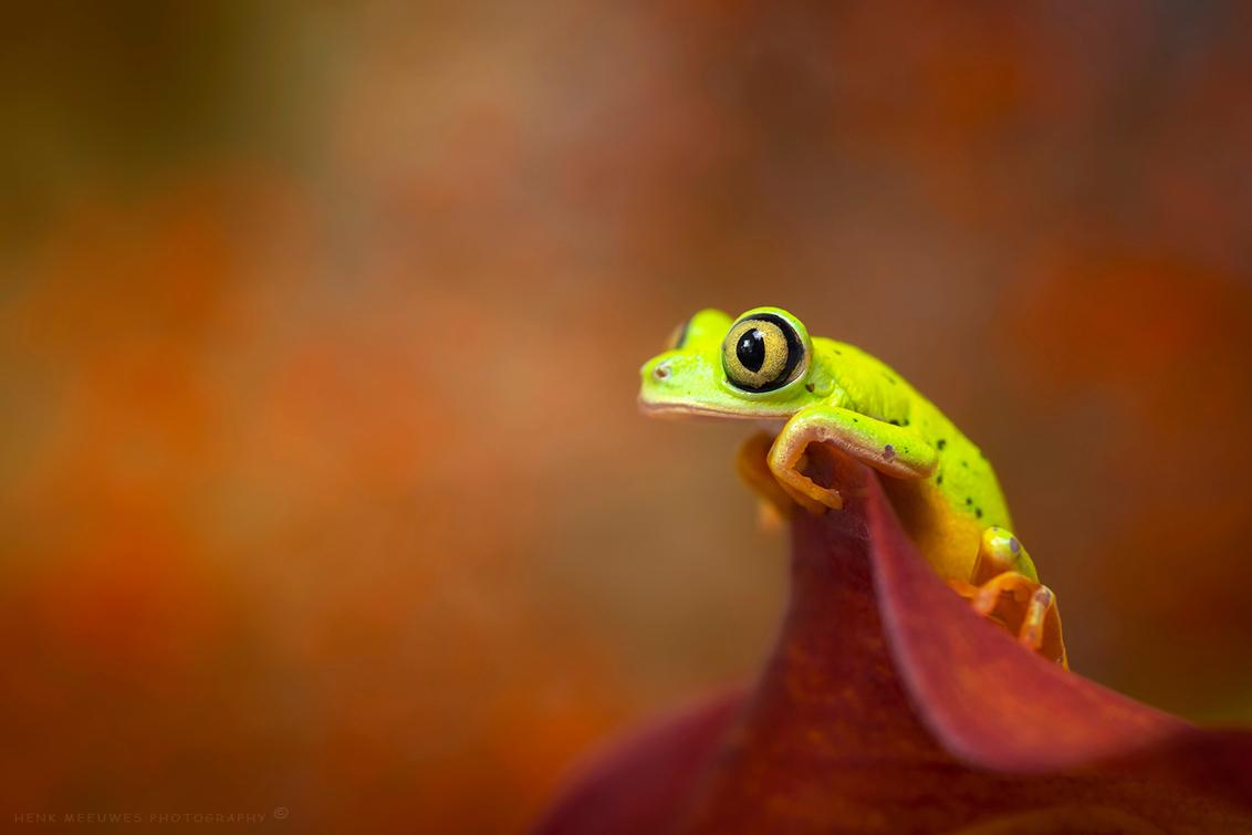 Just hanging out - Tja wat kun je doen in deze tijd van Corona, gewoon maar een beetje rondhangen.  Geeft mij mooi de kans om dit bijzondere wezentje weer voor de zov - foto door h.meeuwes op 16-10-2020 - deze foto bevat: macro, kikker, ogen, blik, pose, kijken, dof, boomkikker, staren, bokeh, f5, rondhangen, agalychnis lemur, conon r