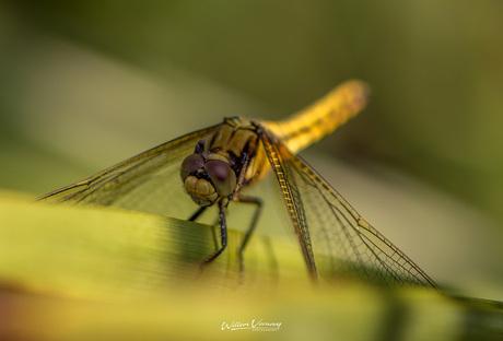 Libelle in de tuin.