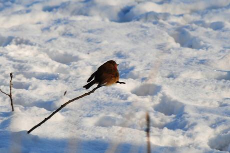 roodborstje in de sneeuw 1