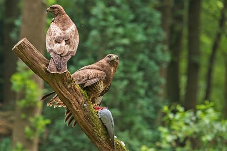 Eén duif, twee buizerds