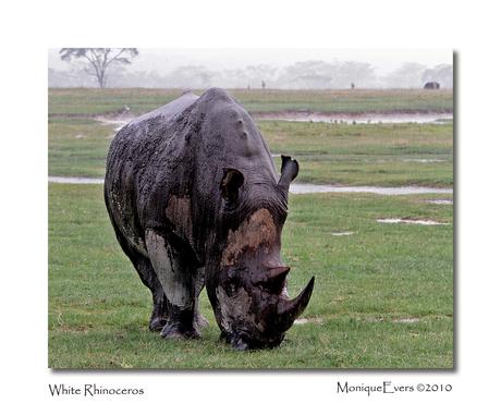 White Rhinoceros - Lake Nakuru