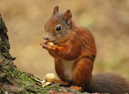 Eekhoorn - Een eekhoorn die op zijn gemak een nootje zit te eten. - foto door renatebobo op 09-08-2015 - deze foto bevat: eekhoorn