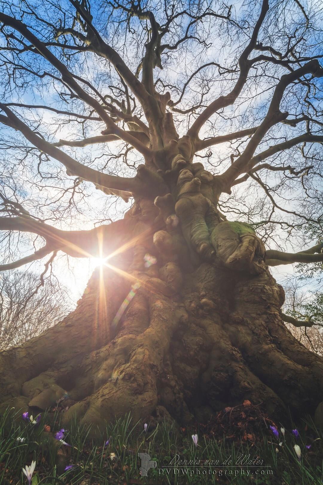 The ancient red beech - Eindelijk eens de rode beuk op de groenesteeg begraafplaats in Leiden bezocht :)  [url]https://dvdwphotography.com/2019/03/04/the-ancient-red-beech - foto door dennisvdwater op 04-03-2019 - deze foto bevat: lucht, zon, boom, lente, natuur, licht, landschap, bos, tegenlicht, voorjaar, silhouet, beuk, nederland, leiden, begraafplaats, groenesteeg