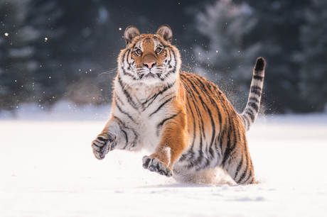 Tijger in de sneeuw