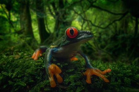 RedeyedtreeFrog - Deze foto heb ik gamaakt met De Laowa 15mm wideAngel Macro Eeen lastige lens om meetewerken maar ik word altijd vrolijk van het resultaat!! - foto door marcojongsma op 16-06-2020 - deze foto bevat: macro, zon, kikker, frog, natuur, licht, oranje, tegenlicht, zomer, dauw, groothoek, dof, bokeh, roodoogmaki, groothoekmacro, wideangel