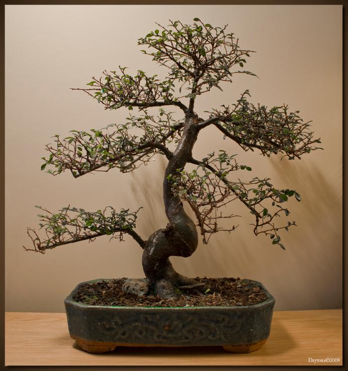 Bonsai 6 - Deze Bonsai is er één van de Ulmus familie net als de vorige upload. De tak linksonder zal ik over een paar dagen met een concaaftang verwijderen om - foto door Daytona_zoom op 28-03-2009 - deze foto bevat: boom, bladeren, blad, bomen, takken, tak, takjes, blaadjes, els, boompje, bonsai, daytona, boom-, blad-, bomen-, bladeren-, bonsai-s, bonsaipot, bonsaischaal, ulmus, elm