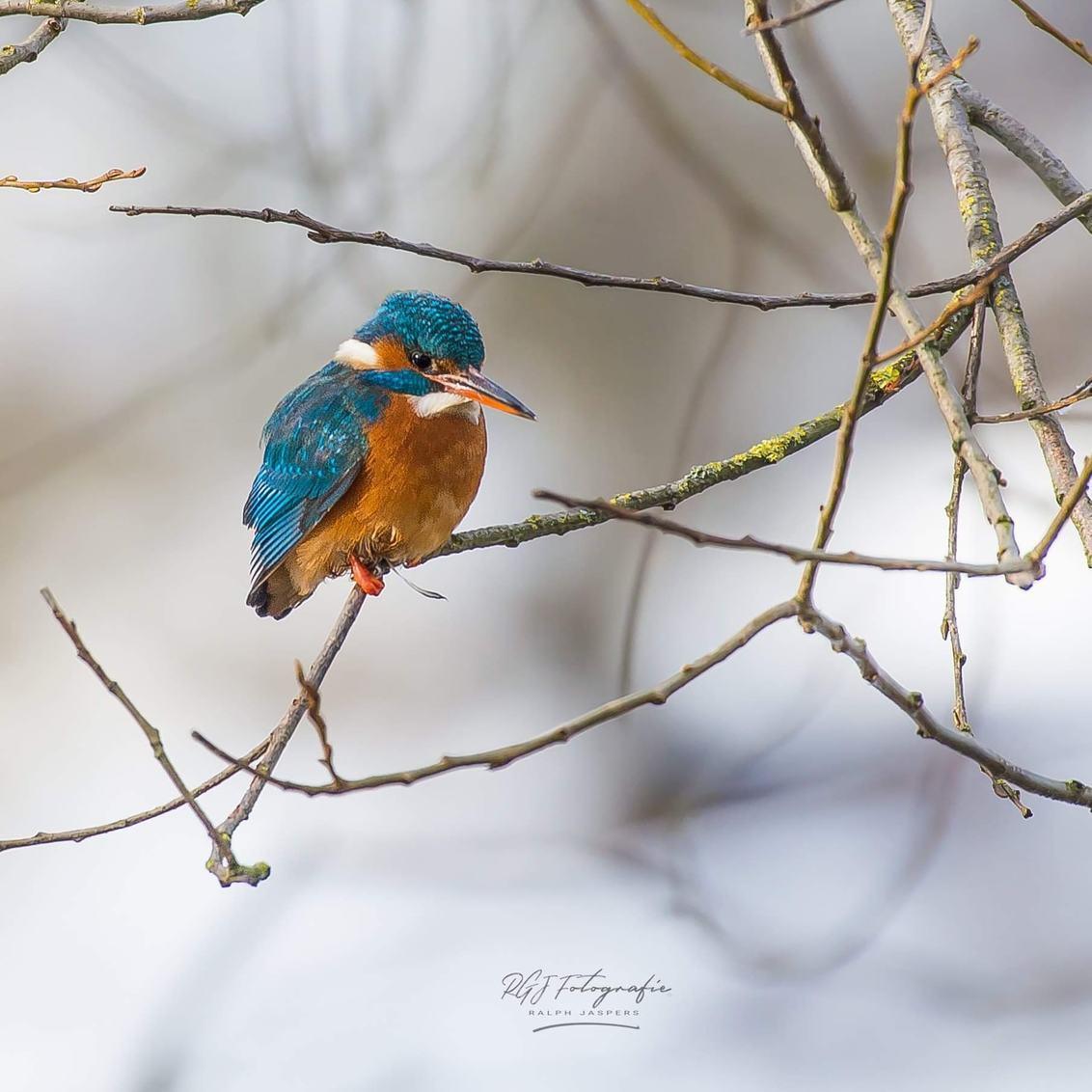 IJsvogel - - - foto door RGJ-fotografie op 17-02-2021 - deze foto bevat: zoom, natuur, sneeuw, dieren, vogel, bomen, awd, wildlife, ijsvogel