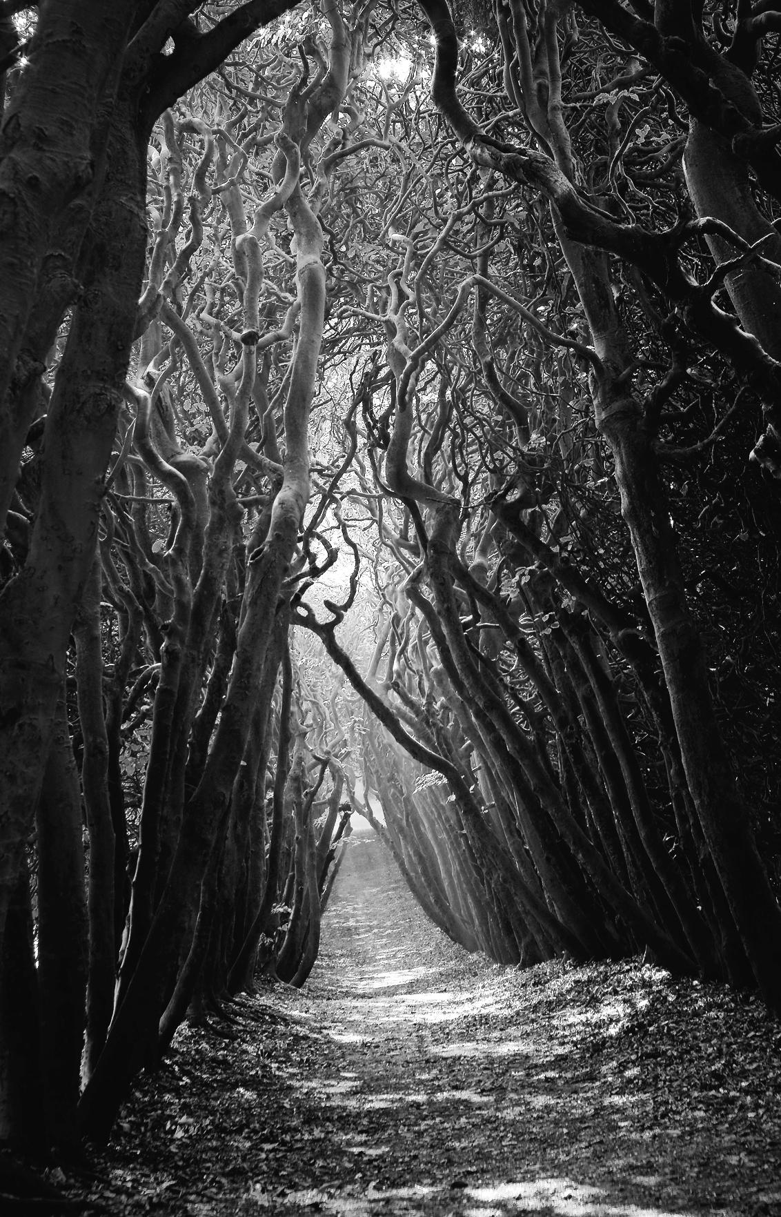 Sleepy Hollow - De berceau, ook wel loofgang, op Landgoed Mariëndaal, Oosterbeek kan op het juiste moment behoorlijk creepy zijn. Deze loofgangen stammen uit de tijd - foto door chrizzx op 23-12-2015 - deze foto bevat: boom, landschap, mist, bos, voorjaar, beuk, nederland, mysterieus, mystiek, gelderland, haagbeuk, mariendaal, oosterbeek, zwart-wit, b&w, berceau