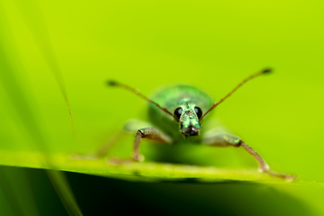 Groene struiksnuitkever