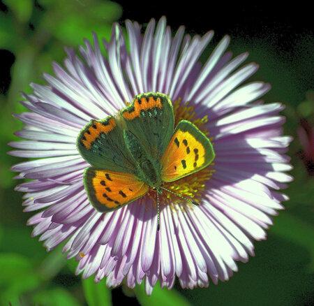 vlinder - kleine vuurvlinder - foto door mploeg-2701 op 08-04-2021 - locatie: Nieuwerkerk aan den IJssel, Nederland - deze foto bevat: bloem, fabriek, bestuiver, vlinder, insect, geleedpotigen, plantkunde, bloemblaadje, motten en vlinders, bloeiende plant