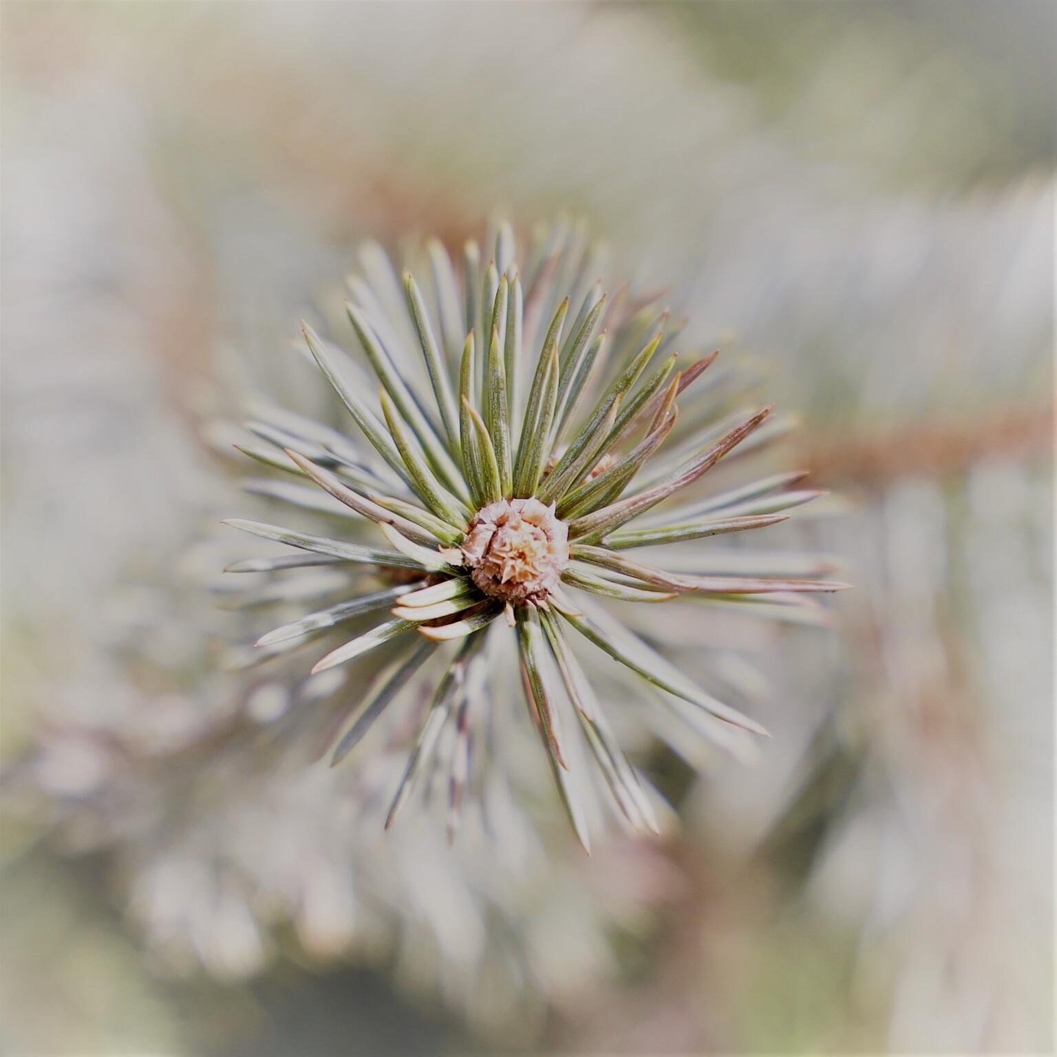 Dennentop - Lekker in het zonnetje - foto door MarideKort op 13-04-2021 - deze foto bevat: bloem, fabriek, lariks, terrestrische plant, takje, groenblijvend, shortstraw grenen, boom, bloeiende plant, gras