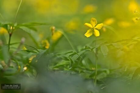 Gele bosannemoon