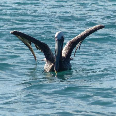 veilig geland - na de flirt opgetogen geland - foto door Krea10 op 14-04-2021 - locatie: Aruba - deze foto bevat: water, vogel, gewervelde, bek, vloeistof, meer, hout, bruine pelikaan, vleugel, pelecaniformes