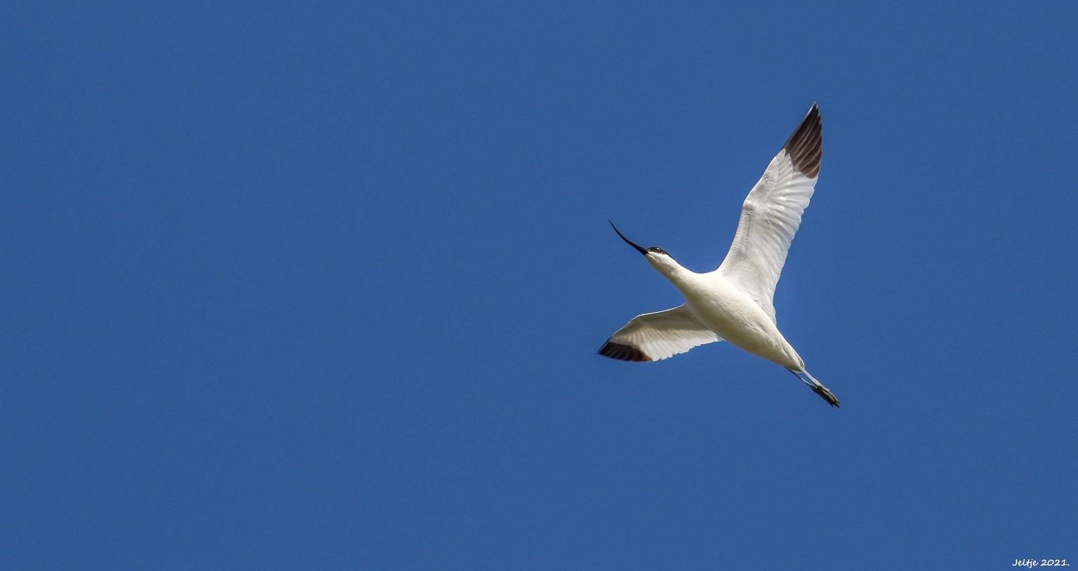 Kluut. - Kluut. - foto door ikjel op 10-04-2021 - deze foto bevat: lucht, vogel, bek, veer, vleugel, staart, zeevogel, migratie van dieren, vogel migratie, elektrisch blauw