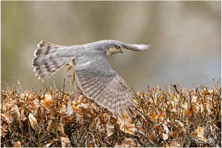 Jagend - Deze Sperwer (man) jaagt op mussen die zich in de beukenhaag verstoppen en duikt gewoon in de heg om een musje te kunnen pakken wanneer ze niet genoe - foto door Gertj123 op 10-04-2021 - locatie: Nijverdal, Nederland - deze foto bevat: vogel, roofvogel, jagend, tuin, vliegend, man, wild, bokeh, vogel, ecoregio, bek, fabriek, veer, falconiformes, vleugel, zeevogel, gras, grasland