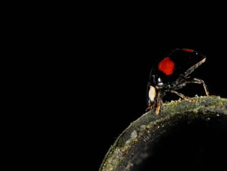 Cirkelen - Zwart met rode stippen lieveheersbeestje. Hij wandelde op een opzetstuk van een gieter. Ik wilde rond met rond combineren. In scène gezet tegen een d - foto door sbrina op 16-04-2021 - deze foto bevat: insect, geleedpotigen, vloeistof, kever, flitsfotografie, plaag, terrestrische dieren, parasiet, amfibie, gif pijl kikker