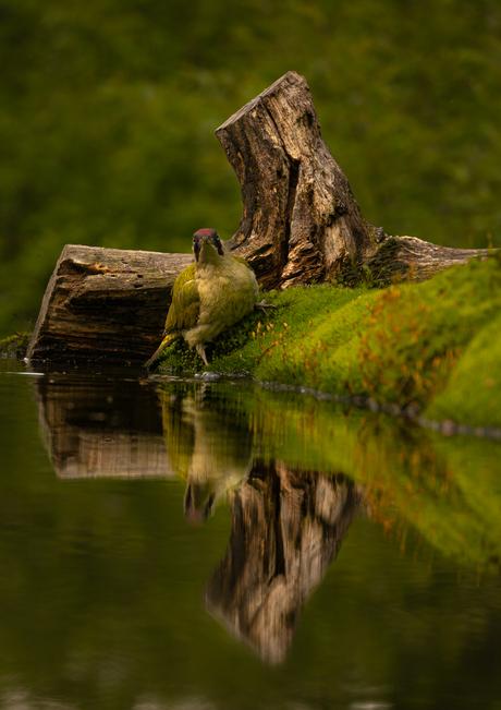 Groene specht wil in bad met weerspiegeling.