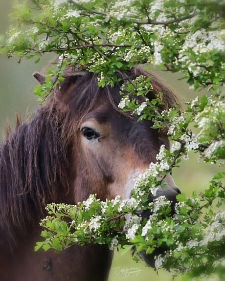 Exmoor pony in de meidoornbloesem