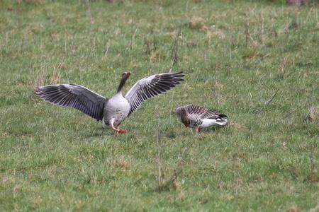 Dominante gans - Heeft net een concurrent weggejaagd - foto door Ebben op 08-04-2021 - deze foto bevat: vogel, bek, eenden, ganzen en zwanen, watervogels, gras, veer, grasland, vleugel, eend, zeevogel