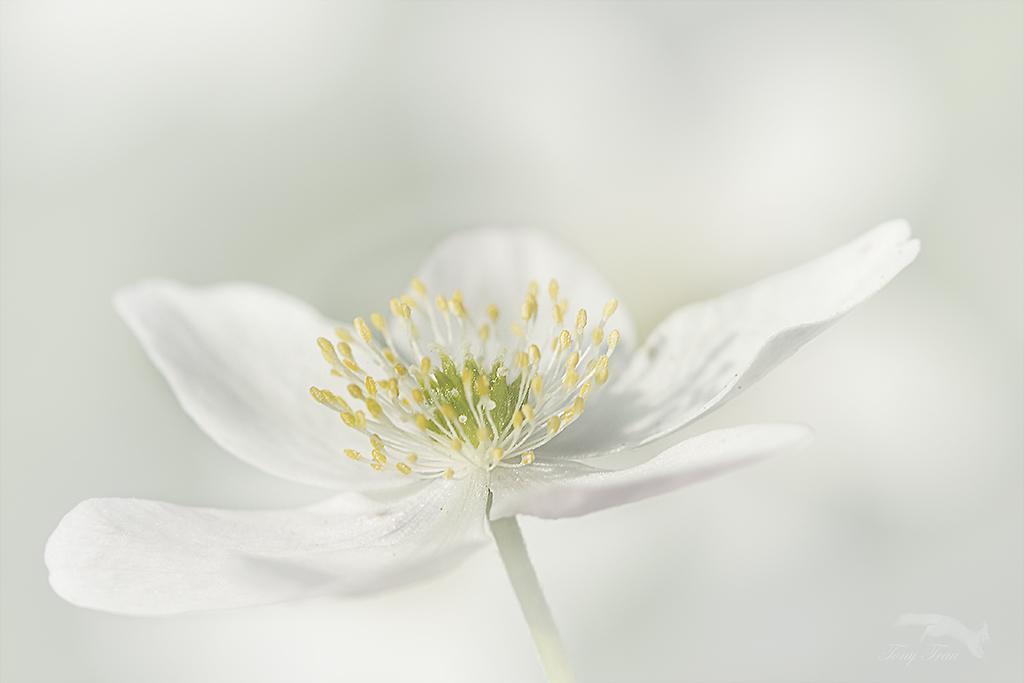 Bosanemoon - plat op de buik wil het nog wel lukken om dit tere bloempje vast te leggen.  dank voor alle reactie's bij de vorige uploads..Gr.Tony - foto door Rohs op 15-04-2021 - locatie: Warande, 5707 Helmond, Nederland - deze foto bevat: bloem, fabriek, bloemblaadje, bloeiende plant, macrofotografie, pedicel, wildflower, stuifmeel, plant stam, stillevenfotografie
