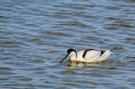 Kluut-Recurvirostra avosetta