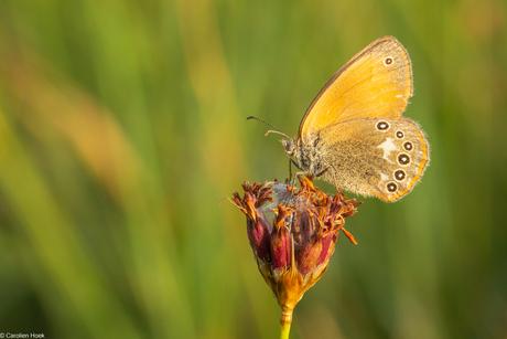 Roodstreephooibeestje - Chestnut heath