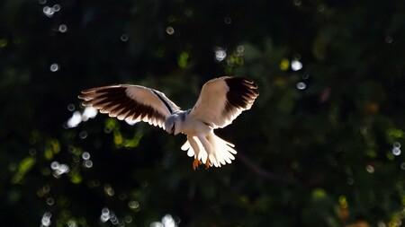 Mijn Reizen  - Dit is een zwart schouder  wouw. een prachtig  kleine roofvogel   zo ongeveer als een torenvalk     eigenlijk komt hij in Australië voor  maar hier g - foto door Stumpf op 10-04-2021 - locatie: India - deze foto bevat: vogel, bek, veer, vleugel, zeevogel, staart, goud, vrede symbolen, charadriiformes, watervogel