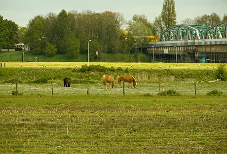 Grazende paarden.