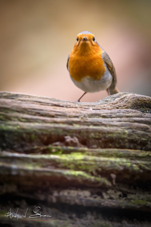 roodborst - roodborst - foto door AndyvdSteen op 11-04-2021 - deze foto bevat: vogel, vogeltje, vogels, vogeltjes, roodborst, roodborstje, wildlife, natuur, vogel, bek, hout, veer, zangvogel, staart, neerstekende vogel, natuurlijk landschap, landschap, vleugel