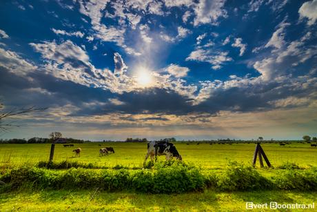 Tussen de koeien in friesland!