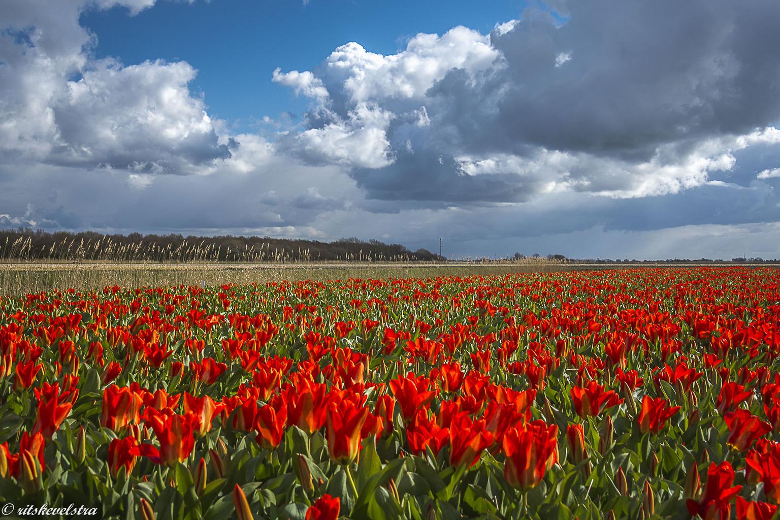 Ze zijn er weer - Mooi heldere luchten met wolken en dan de tulpen ervoor. - foto door rits op 16-04-2021 - locatie: Heiloo, Nederland - deze foto bevat: tulpen, wolken, heiloo, voorjaar, bloem, wolk, lucht, fabriek, ecoregio, bloemblaadje, natuur, natuurlijk landschap, natuurlijke omgeving, vegetatie