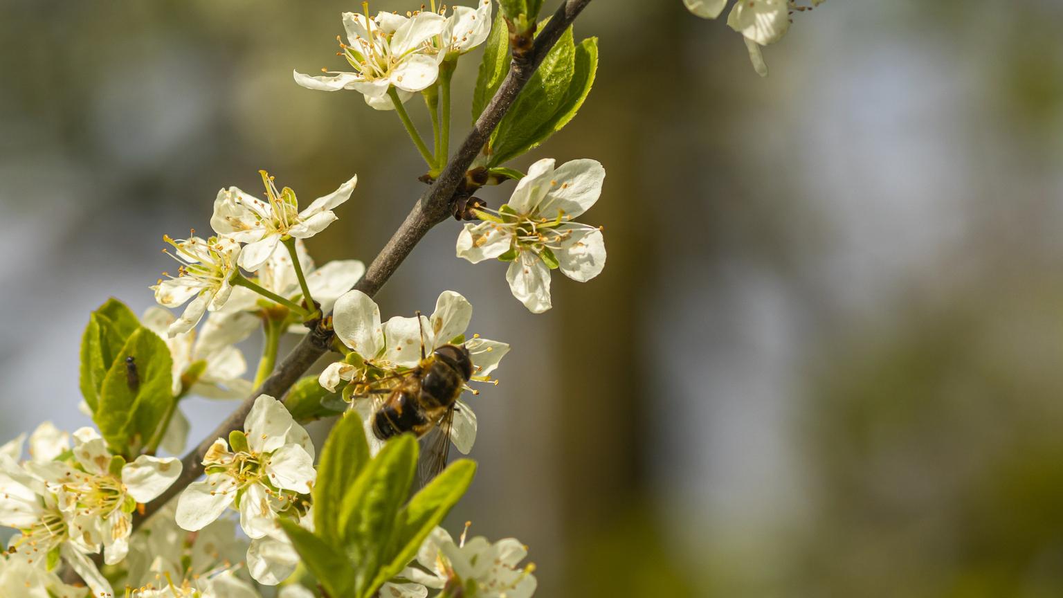 Bij - Deze bij was, ondanks de lage temperatuur (ca 7 gr), al druk bezig met het verzamelen van honing - foto door Wallie54 op 11-04-2021 - deze foto bevat: bij, bloesem, nectar, april, bloem, fabriek, bestuiver, insect, bloemblaadje, geleedpotigen, takje, struik, bloesem, bloeiende plant