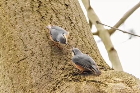 Liefde is ..... - elkaar voeren . zo leuk om naar te kijken.(boomklevers) allen bedankt voor de vorige reacties jannie - foto door j.bosch.01 op 05-05-2021 - deze foto bevat: boomklever, voeren, bemoste boomstam, puur natuur, vogel, fabriek, bek, hout, takje, veer, kofferbak, vleugel, zeevogel, staart