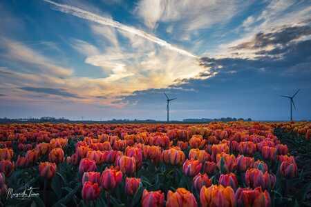 Tulpenveld - Mooi tulpenveld tijdens zonsondergang   - foto door margrietha-timmer op 10-04-2021 - locatie: Dronten, Nederland - deze foto bevat: tulpen, lucht, zonsondergang, lente, holland, bloem, lucht, wolk, fabriek, atmosfeer, windmolen, ecoregio, licht, natuurlijk landschap, natuur