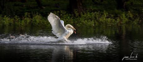 20190614 Swan landing